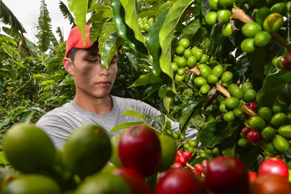 La producción de diversos tipos de café ha desarrollado negocios que convierten al grano en un gran generador de riqueza y empleo para la gente del Huila.