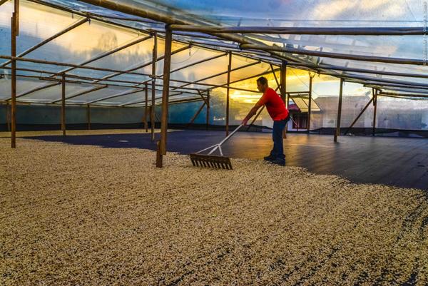 Secadero de café en La Plata.